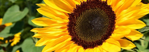 sunflo.jpg
